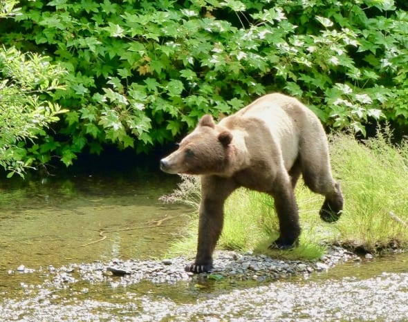 Alaska Grizzly - on the Hunt!