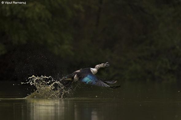 Knob-billed Duck - Sarkidiornis Melanotos