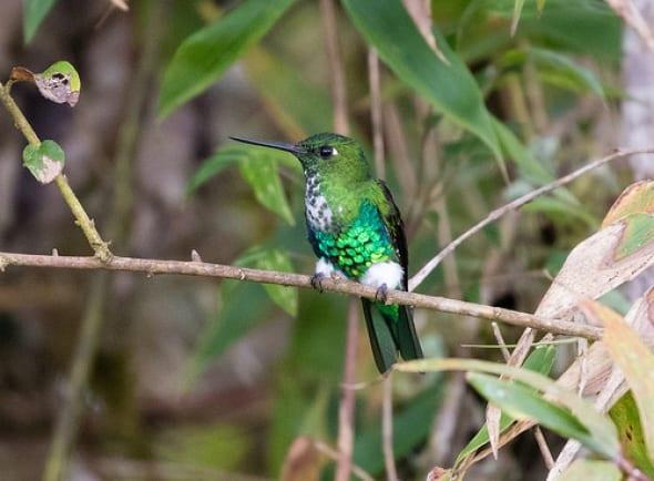 Emerald-bellied Puffleg