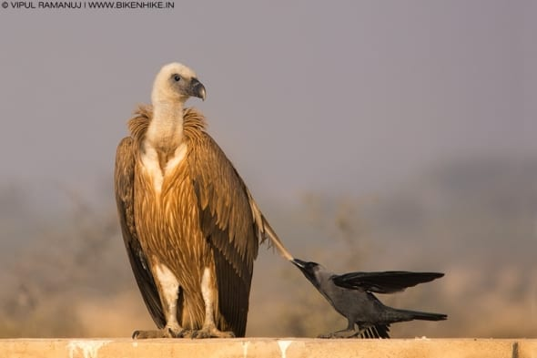 Griffon Vulture Mobbed by House Crow