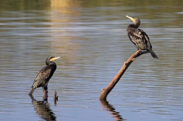 Great Cormorant Phalacrocorax carbo