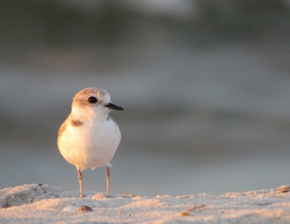 Snowy Plover on Cliff of Sand at Sunrise