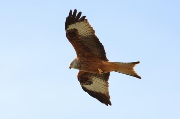 Red Kite Milvus milvus