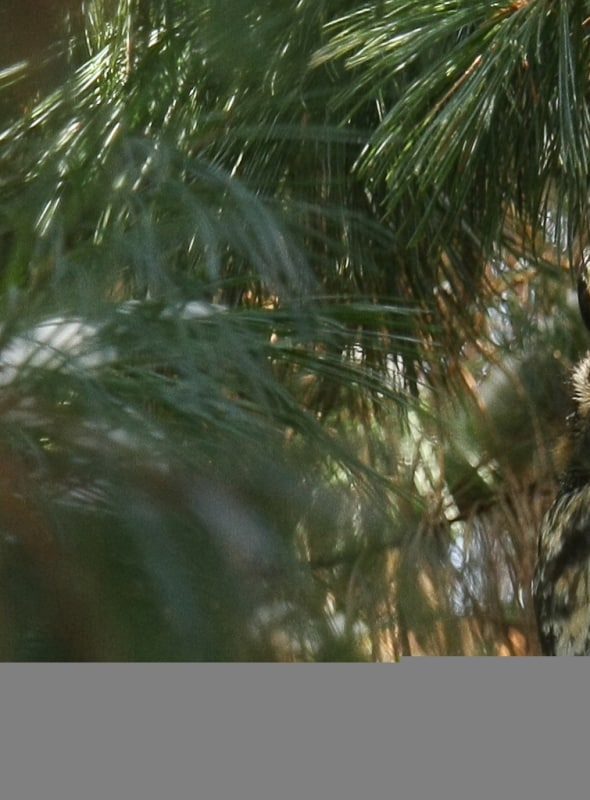 Long-eared in Pines