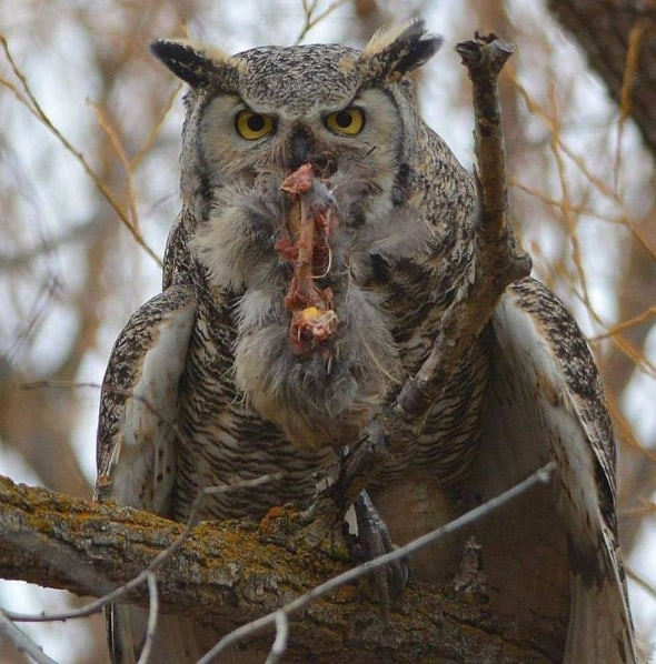 Great Horned Owl with His Lunch
