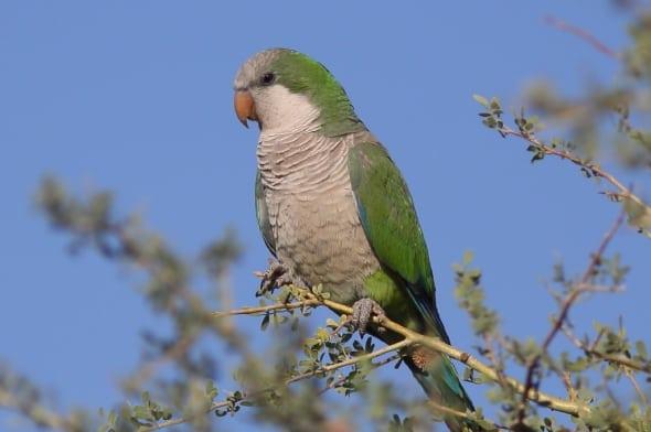 Cotorra Monk Parakeet (Myopsitta Monachus)