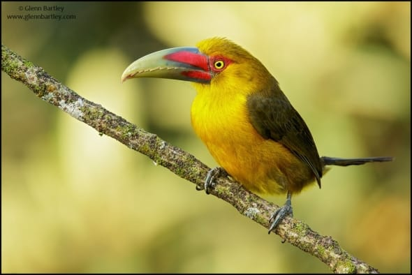 Saffron Toucanet (Pteroglossus bailloni)