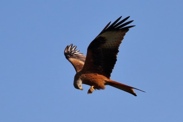 Lunch on the Wing - Red Kite Milvus milvus