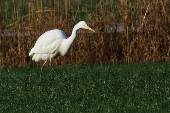 Great White Egret Ardea alba