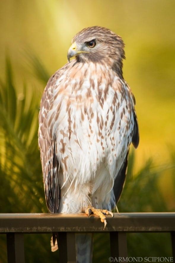 Surprise Hawk