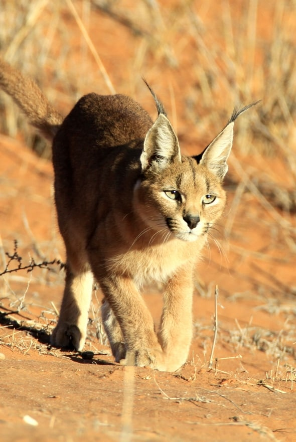 Caracal Stalking in the Kalahari