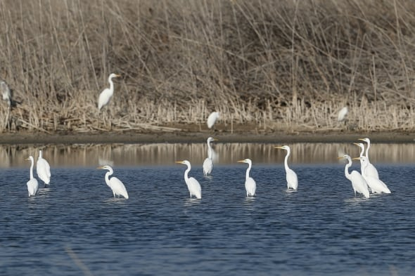 Western Great Egrets