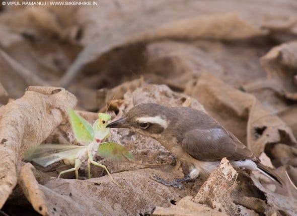 Common Woodshrike Predating a Praying Mantis.