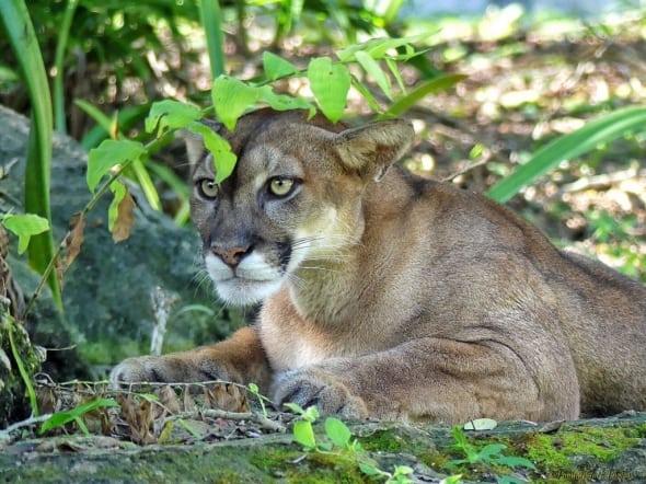 Yucatan Puma - in Ambush