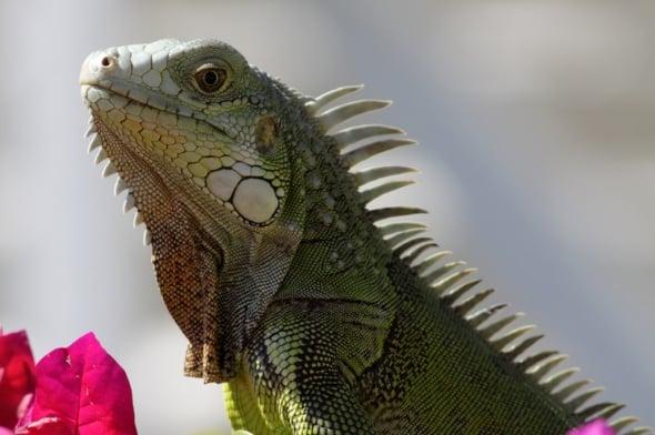 Iguana (Iguana iguana) (3)