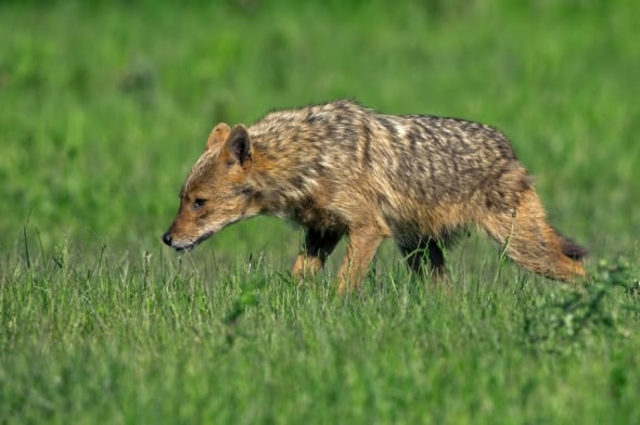 European Jackal Picking up the Scent of Food