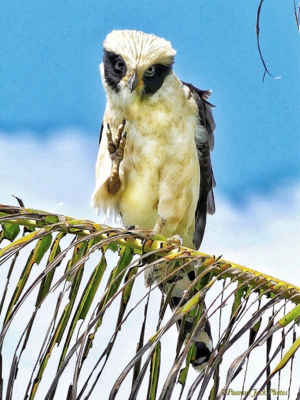 That's Close Enough, Mister - Laughing Falcon
