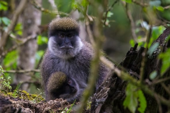 A Mother's Love - Bale Monkeys