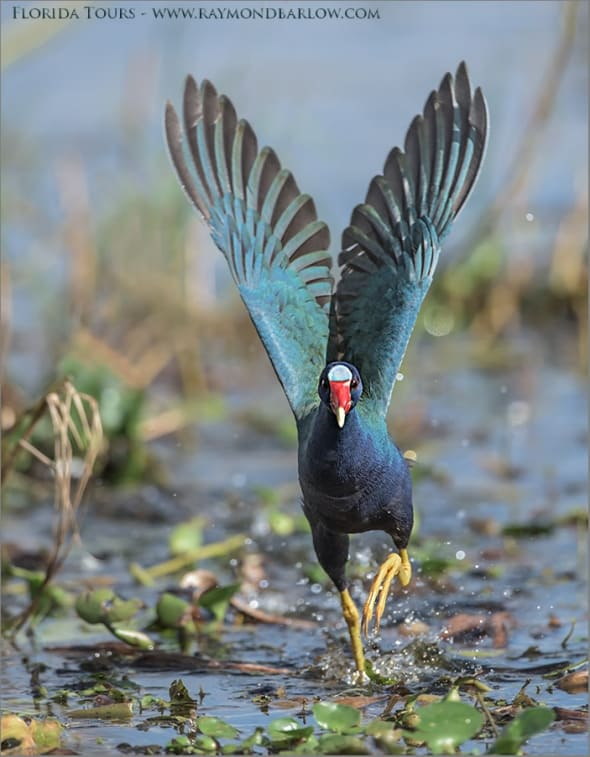 Florida Photo Tours - Purple Gallinule