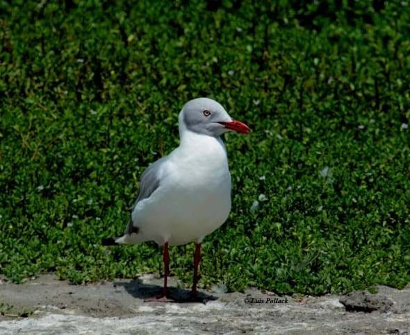Grey-headed Gull. Gaviota Capucha Gris.