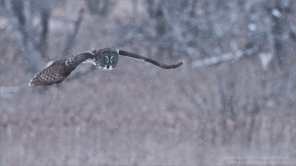 Great Grey Owl Hunting for Real Food.