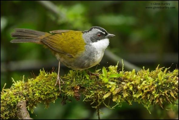 Grey-browed Brush Finch (Arremon assimilis)