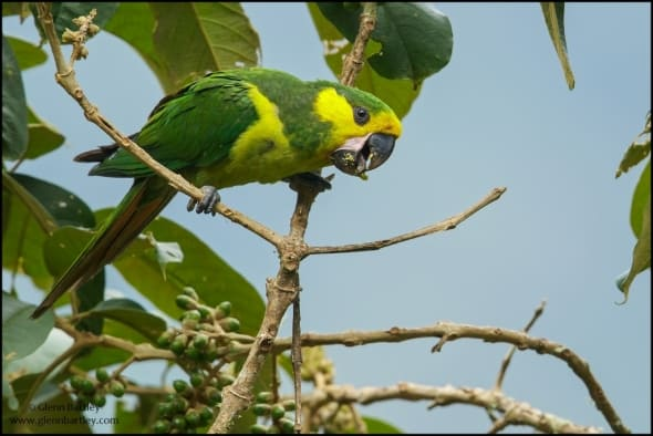 Yellow-eared Parrot (Ognorhynchus icterotis)