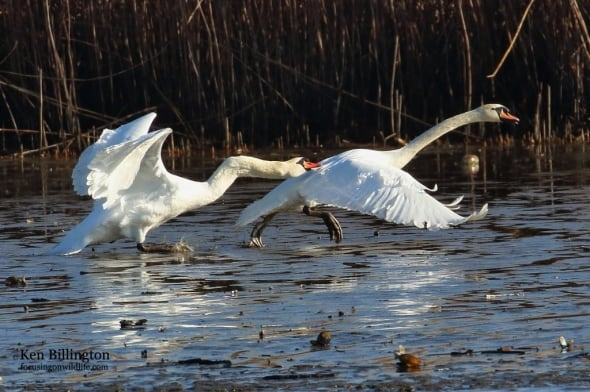 Spring Mating - Mute Swans