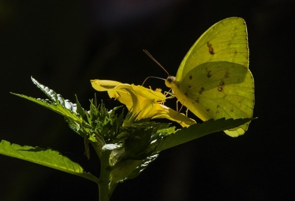 Butterfly (Colias eurytheme)