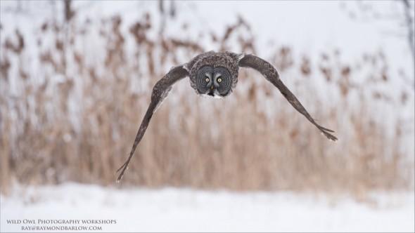 Great Grey Owl - No Bait