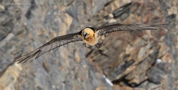 Bearded Vulture Gypaetus Barbatus