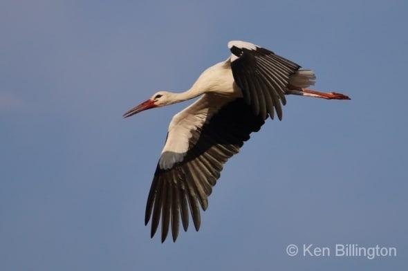 White Stork Ciconia ciconia