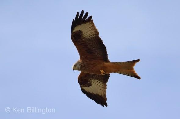 Red Kite Milvus milvus (1)