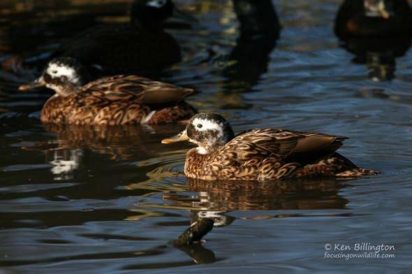 Laysan Duck (Anas laysanensis)