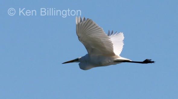 Great White Egret (Casmerodius albus) (1)