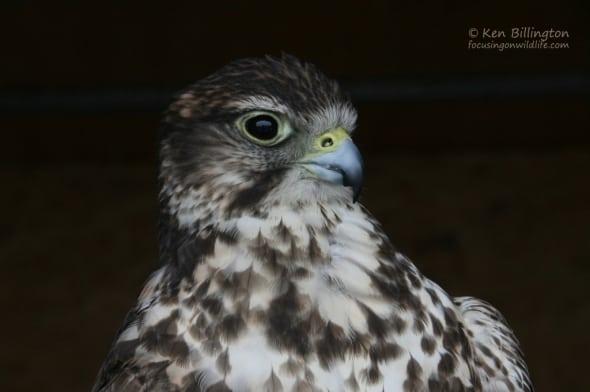 Saker Falcon (Falco cherrug) (2)