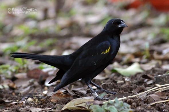 Yellow-shouldered Blackbird (Agelaius xanthomus) (2)