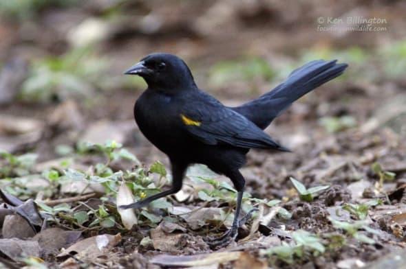 Yellow-shouldered Blackbird (Agelaius xanthomus)