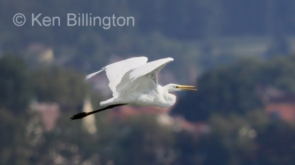 Great White Egret (Casmerodius albus) (11)
