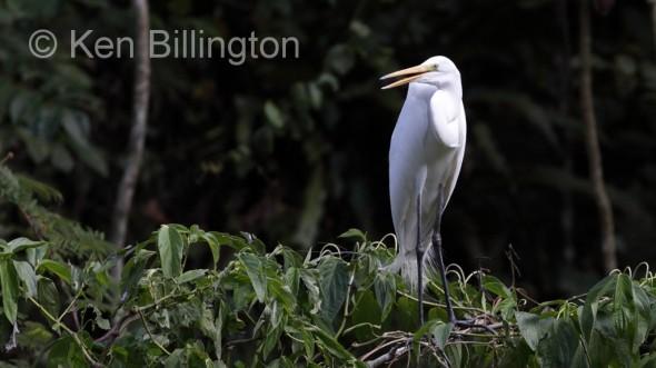 Great White Egret (Casmerodius albus) (15)