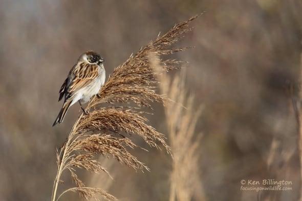 Common Reed Bunting (Emberiza schoeniclus)