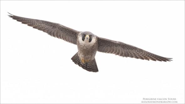 Peregrine Falcon - No Bait Used