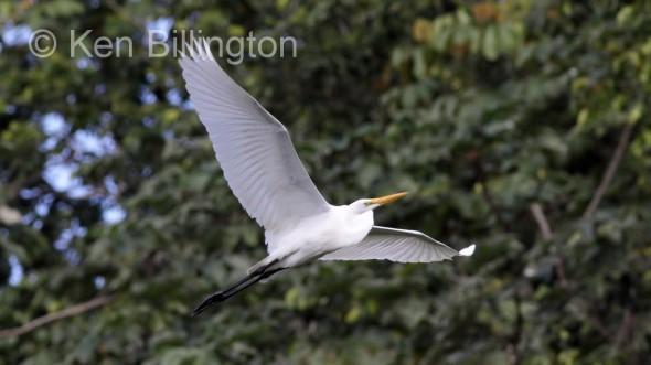 Great White Egret (Casmerodius albus) (17)