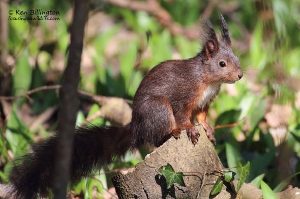 Bright-eyed and Bushy-tailed - Eurasian Red Squirrel