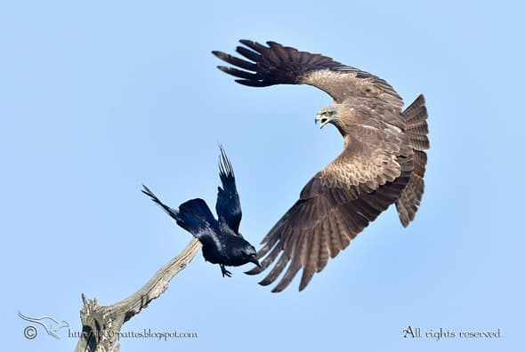 Percussion - Black Kite Vs Crow