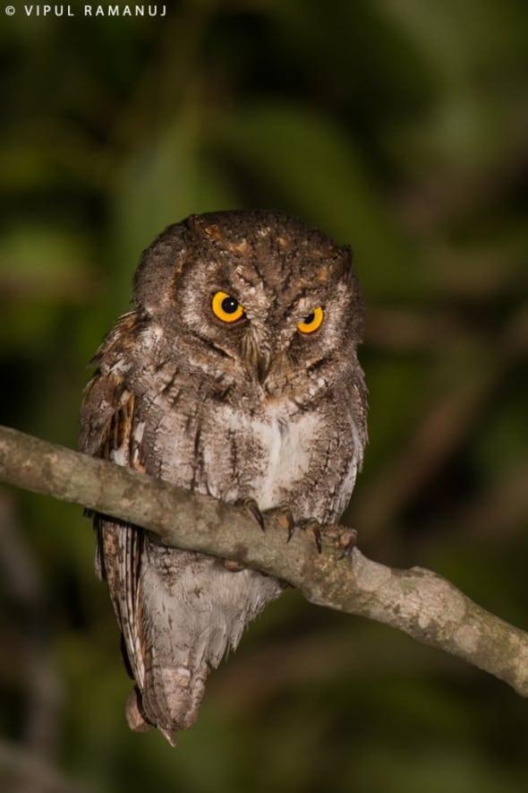 Oriental Scops Owl  -  Otus Sunia