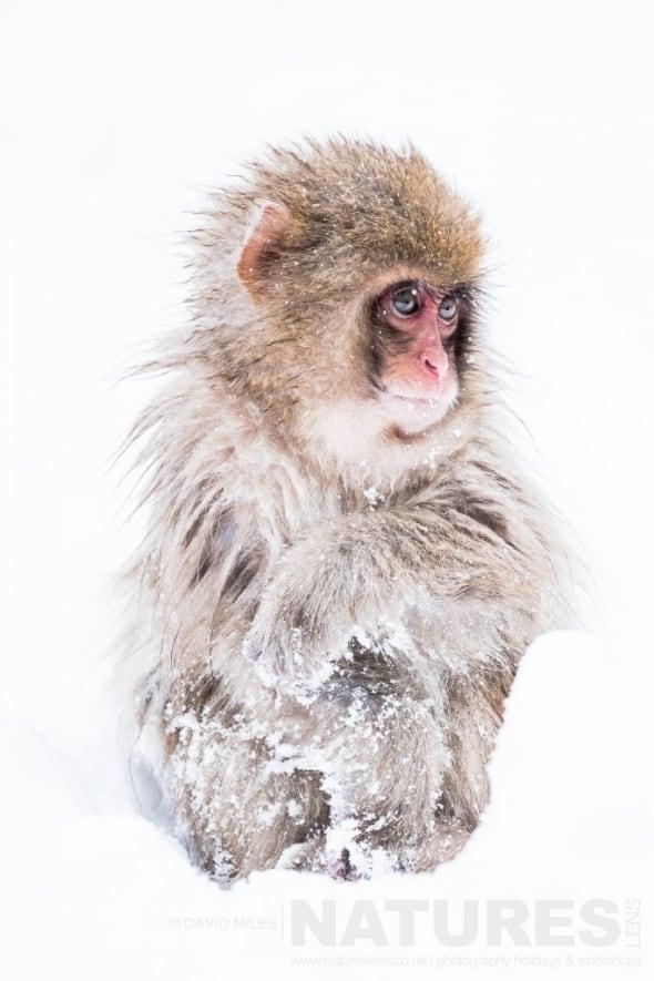Young Snow Monkey of the Jigokudani Valley