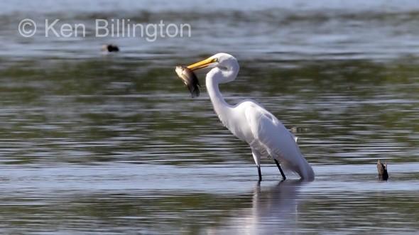 Great White Egret (Casmerodius albus) (23)