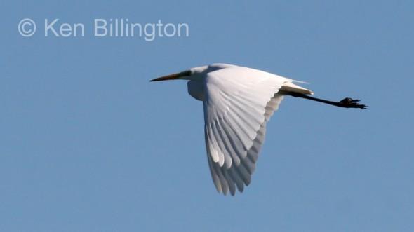 Great White Egret (Casmerodius albus) (3)