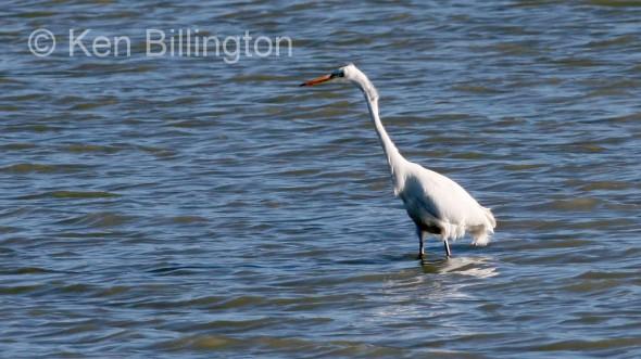 Great White Egret (Casmerodius albus) (4)